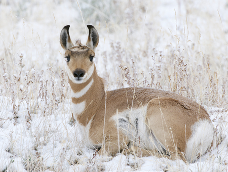 Pronghorn laying on snow and grass at Yellowstone National Park Stock Photo