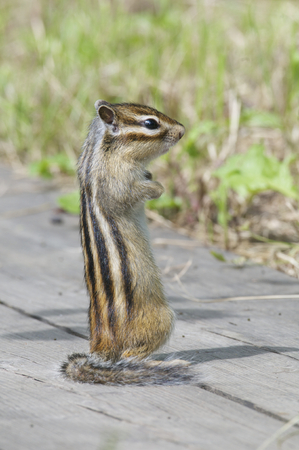 Siberian Chipmunk on boards with green grass in background