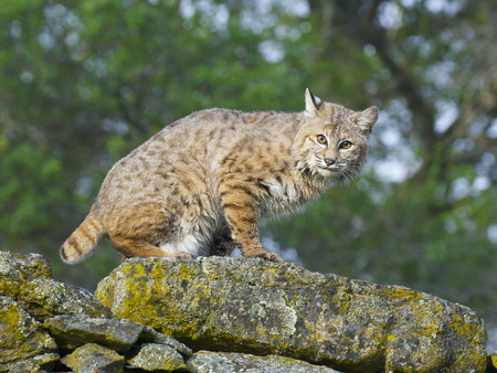 Bobcat on rocks  with lichen during spring time