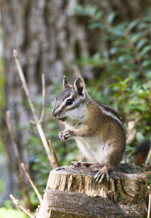 Least chipmunk on stump with tree and fern