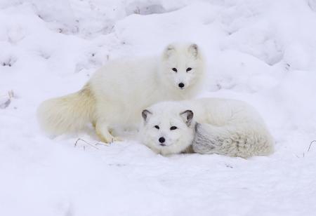 Arctic Foxes in deep snow Banco de Imagens