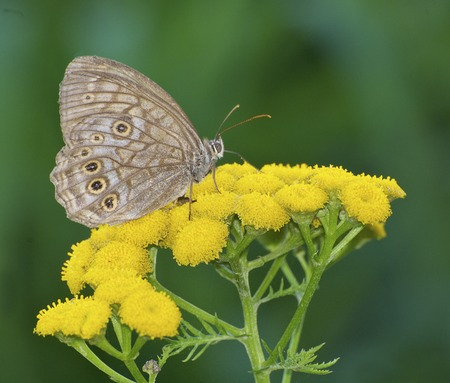 Brown butterfly on yellow flowers with green plant background Stock Photo