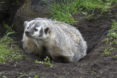 Angry American Badger next to burrow with green grass and flowers Stock Photo