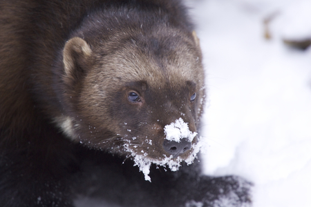 wolverine: Angry Wolverine in deep snow on winter day Stock Photo