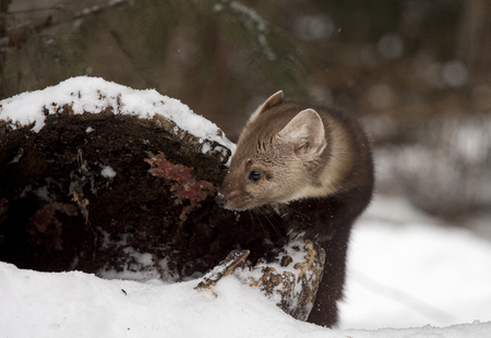 ocas: Pine marten looking into hollow log for hiding place during winter