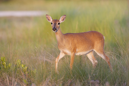 Key Deer on grass and limestone rock base