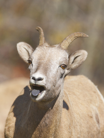 Bighorn Sheep with tongue extended front the front Stock Photo