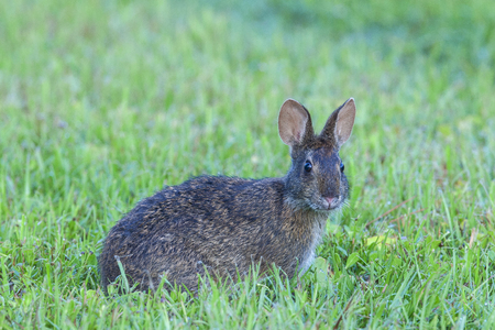 Marsh rabbit is deep grass, profile view, looking directly at camera