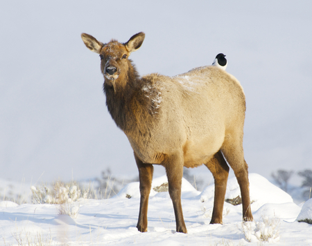 Elk on snow covered hill with Magpie on back