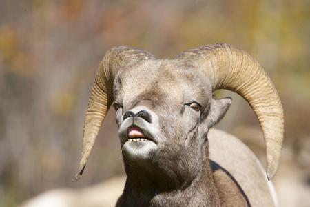 ビッグホーン羊リップ カール、「味」の地域女性の香りにわだち掘れ間に動作