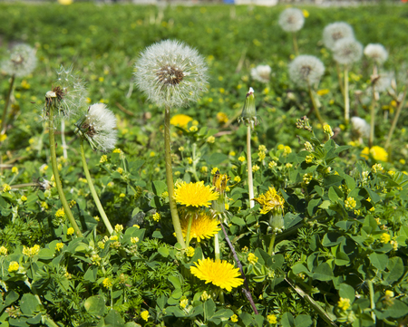 Dandelion seeds and flowers in garden or lawn, seeds ready for dispersal by wind 版權商用圖片