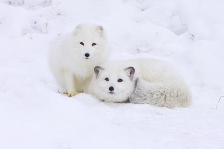 Arctic Foxes in deep snow Banco de Imagens - 78598967