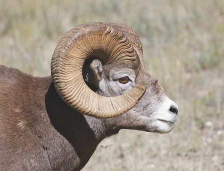 Bighorn Sheep portrait with grass background showing side view