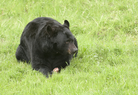 Black bear on green grass with piece of meat between paws Фото со стока