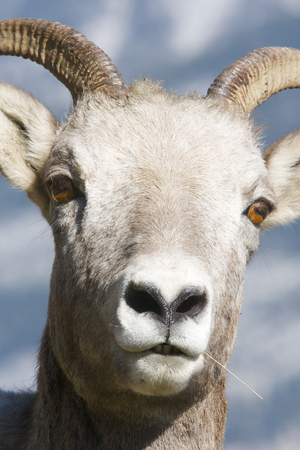 Bighorn Sheep portrait with snow and mountain background