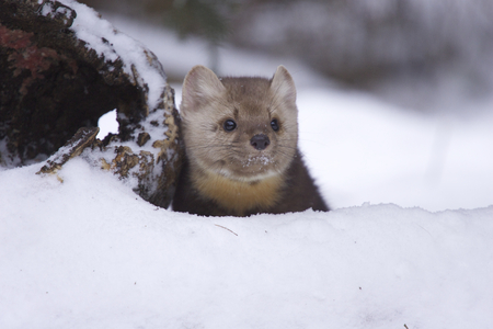 American Pine Martin in deep snow on winter day Stok Fotoğraf