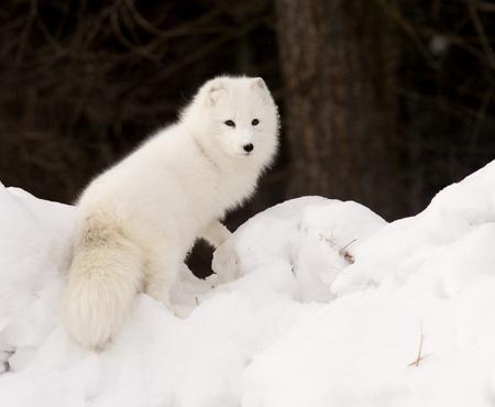 Arctic Fox in deep snow