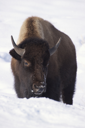 American Bison in deep snow at Yellowstone National Park