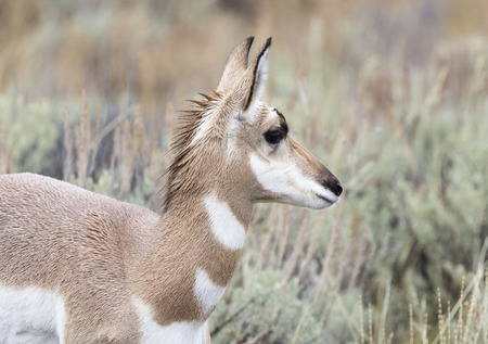 Young juvenile female pronghorn portrait in sagebrush in park