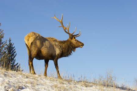 Canadian Elk on snow covered hill Stok Fotoğraf