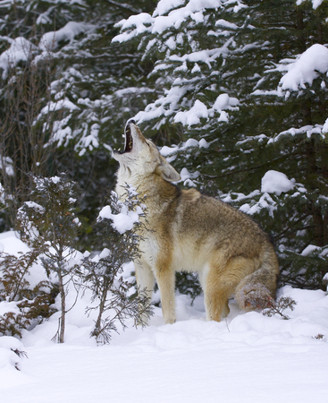 Howling Coyote with snow background Stok Fotoğraf