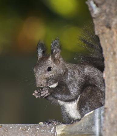 얼굴 근처 발로 먹는 러시아 검은 다람쥐