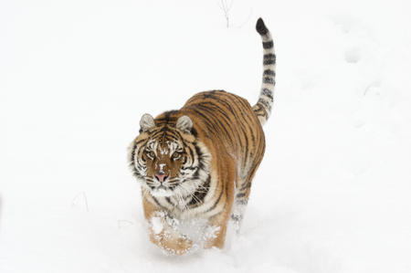 Amur Tiger running on white snow during cold winter