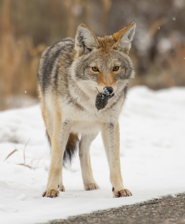 Coyote with lunch of mouse or vole in snow at Yellowstone Stok Fotoğraf