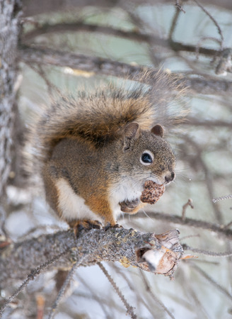 Red squirrel on tree limb with seed cone in Alberta