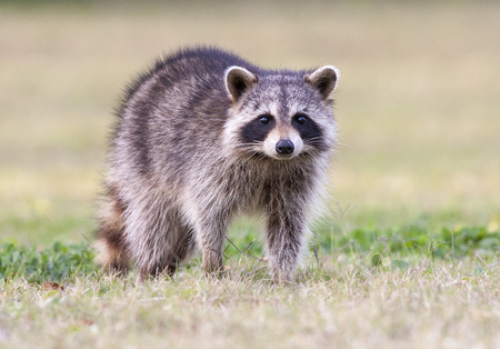 Raccoon standing on green grass in middle of field in county park Stok Fotoğraf