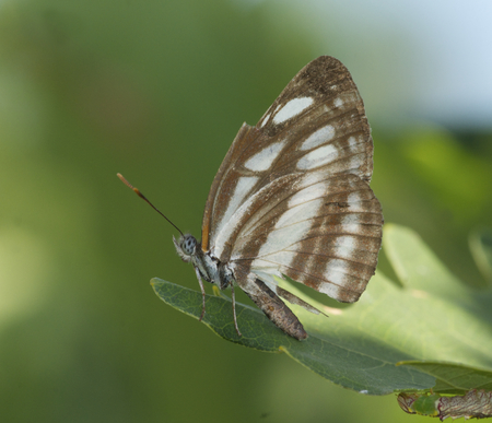Brown and White Butterfly on leaf of green plant