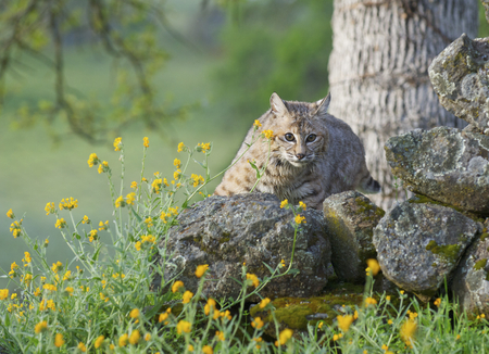 Bobcat on rocks  in deep green grass with flowers