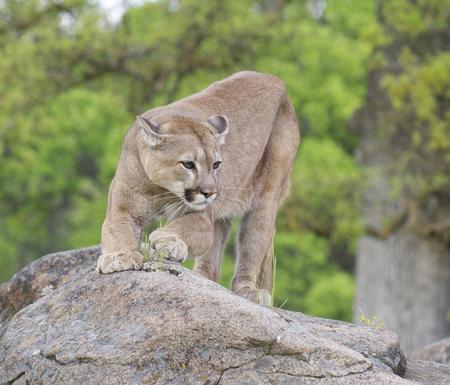 春の時間の中に岩にマウンテン ライオン 写真素材