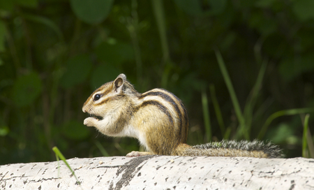 Siberian Chipmunk on log with green plants in background