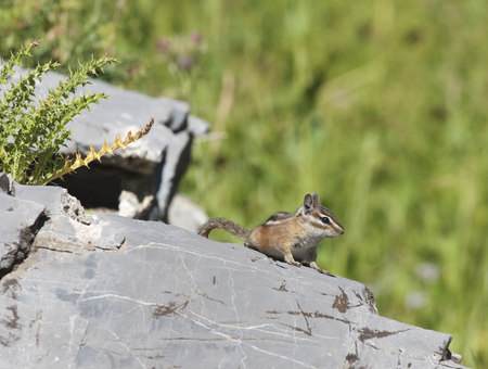 Least Chipmunk on gray rocks