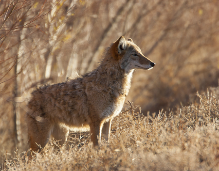 Coyote in deep brush at Bosque del Apache in New Mexico