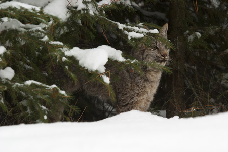 Canada lynx hiding in pine trees