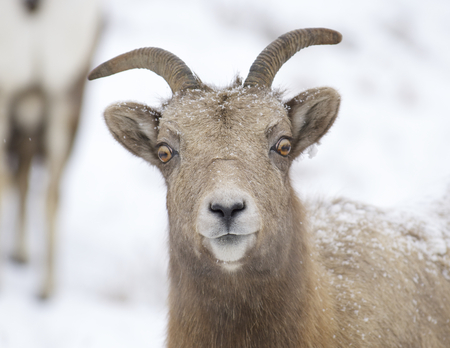 Bighorn Sheep portrait with snow background showing front of face