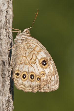 Brown butterfly on tree bark with green background