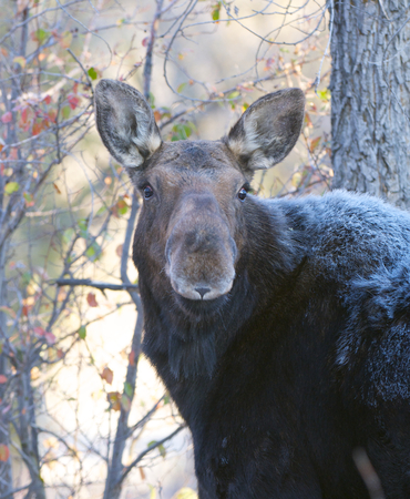 American Moose with trees during autumn