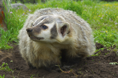 Angry American Badger next to burrow with green grass and flowers Stok Fotoğraf