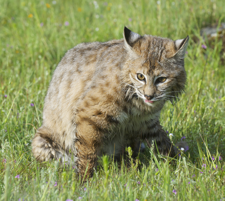 Bobcat walking in deep green grass with flowers