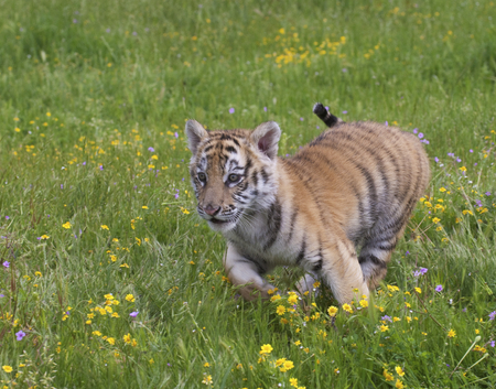 Tiger cub running in yellow flowers