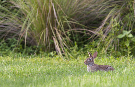 Marsh rabbit in deep grass with environment