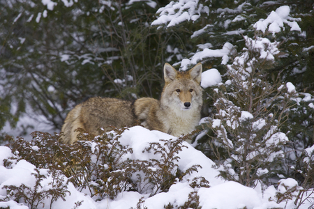 Coyote with trees and snow background Stok Fotoğraf