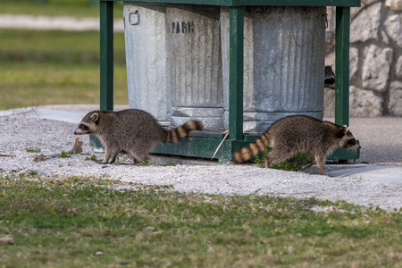 Two raccoons by trash cans in a county park Stockfoto