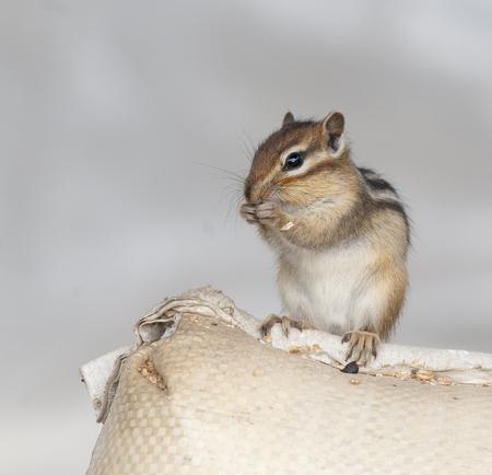 ardilla: Siberian chipmunk on grain bag eating wheat at farm