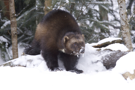 Angry Wolverine in deep snow on winter day Stok Fotoğraf