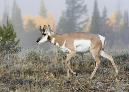Young juvenile buck pronghorn in sagebrush during fall Stok Fotoğraf