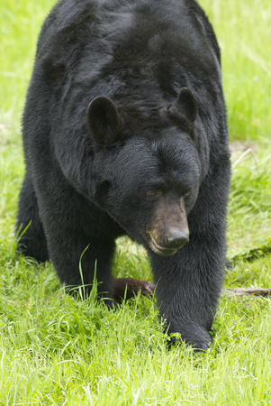 American Black Bear with grass background Stok Fotoğraf
